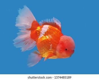 The beautiful red and white Oranda goldfish  on isolated blue background. Ryukin goldfish (Carassius auratus) is one of the most popular ornamental fish.