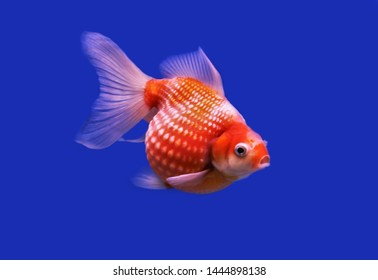Beautiful Red and white Peal Scale Goldfish on isolated blue background. Carassius auratus is one of the most popular ornamental fish.