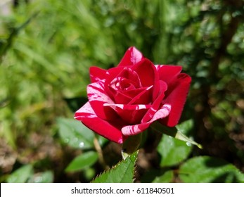 A beautiful red and white rose.