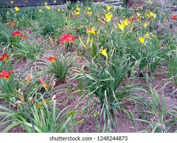 Beautiful red and yellow Daylily Hemerocallis flower blossoming in the garden. Flowers Daylily in the park or garden. Daylily flower that bloom in the botanical garden of Bedugul Bali. ( Lily flower )