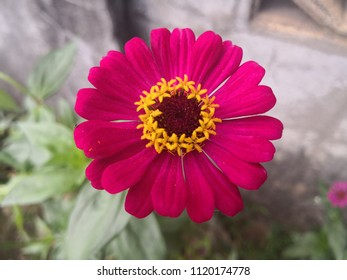 Beautiful Red Zinnia