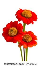 Beautiful red ZINNIA flowers
