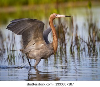 Beautiful reddish egret dances in shallow water while hunting