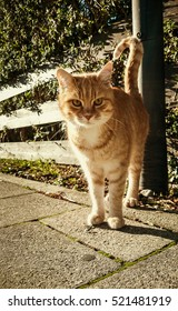 Beautiful red-haired cat on the street