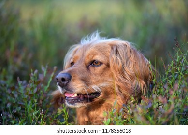 beautiful red-haired English spaniel in the forest among the blueberry bushes