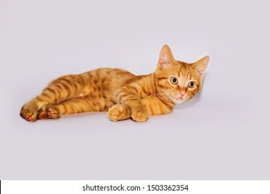A beautiful, red-haired kitten lies on a white background