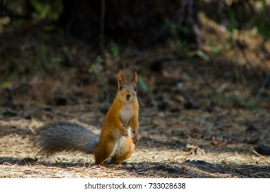 Beautiful red-haired squirrel in the park is standing on the grass in the summer and looks