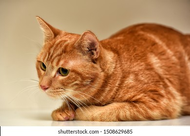 beautiful redhead with stripes cowardly cat