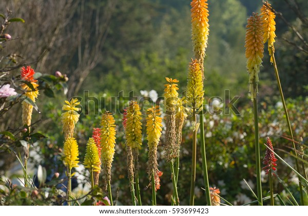 Beautiful red-hot-poker flowers (KNIPHOFIA PLANT)