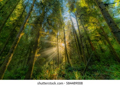 Beautiful redwood forest. The sun's rays fall through the branches. Hatton Trail, Jedediah Smith Redwoods State Park. USA