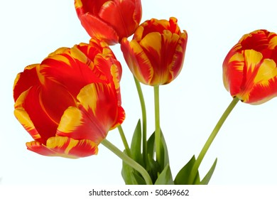 Beautiful red-yellow tulips isolated on white.
