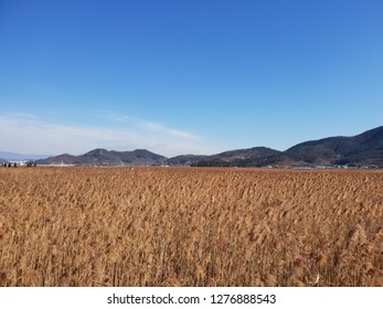 beautiful reed marsh in korea