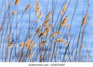 Beautiful reed straws at a lake in sunshine