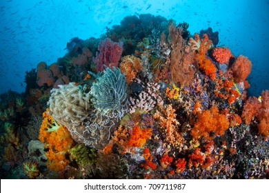 A beautiful reef full of vibrant soft corals grows in Sulawesi, Indonesia. This tropical region is known for its spectacular marine biodiversity and is a popular area for scuba divers and snorkelers.
