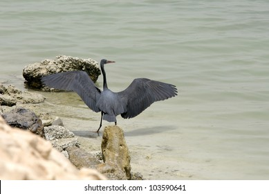 A beautiful reef heron at the coast