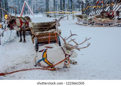 Beautiful reindeer in front of a sled in wintertime to carry people through the snow. Typical carriage with fur in Lapland, Finland.