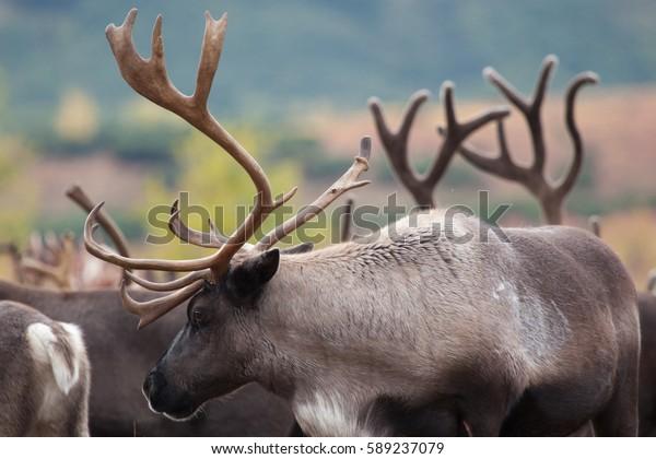 beautiful-reindeer-rangifer-tarandus-clo