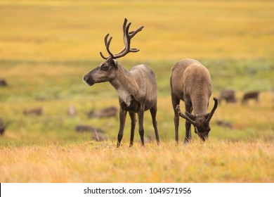 beautiful reindeer in the tundra