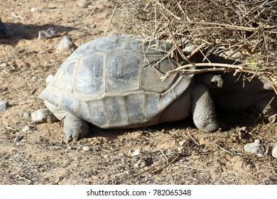 Beautiful Reptile Turtle slowly walking on a sand in Al Ain Zoo, United Arab Emirates