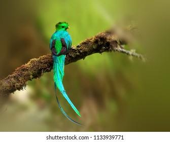 Beautiful and Resplendent Quetzal