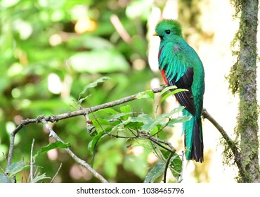 Beautiful Resplendent Quetzal (Pharomachrus mocinno) male on a tree branch inside a cloud forest in Panama