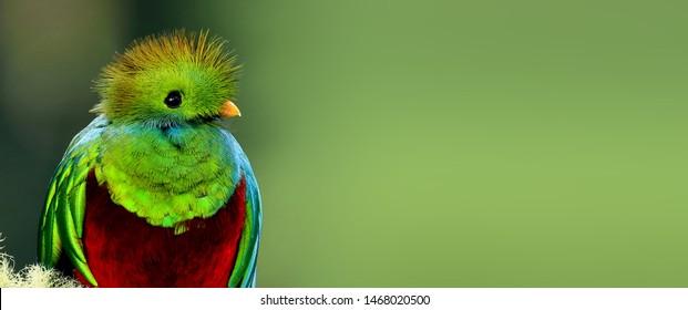 Beautiful Resplendent Quetzal's head close-up