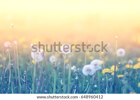 Beautiful retro photo of wonderful dandelions sunlit