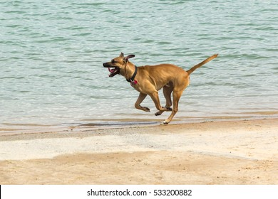 Beautiful Rhodesian Ridgeback / Doberman mix mid-stride in a full sprint, with a happy expression on his face, at the shoreline of a dog park's retention pond. Image has copy space.