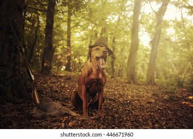 beautiful rhodesian ridgeback dog in sunset summer forest hunting