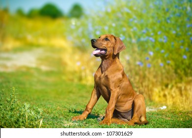 Beautiful rhodesian ridgeback hound puppy in a field