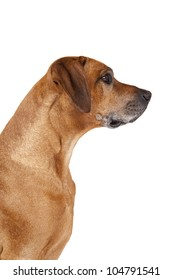 A beautiful Rhodesian Ridgeback male hound dog portrait with nice expression in his head isolated on white studio background
