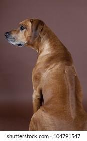 A beautiful Rhodesian  Ridgeback male hound dog showing his ridge isolated on studio backbround