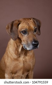 A beautiful Rhodesian Ridgeback male hound dog portrait with nice expression in his face isolated on brown studio background