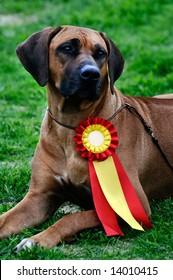 beautiful Rhodesian Ridgeback posing at a dog show