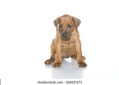 Beautiful Rhodesian ridgeback puppy isolated
