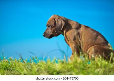 Beautiful Rhodesian ridgeback puppy outdoors
