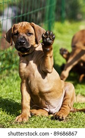 a beautiful rhodesian ridgeback puppy is sitting in the grass and is waving with his paw