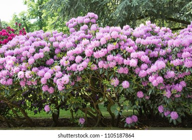 Beautiful rhododendron bush covered with a mass of pink flowers