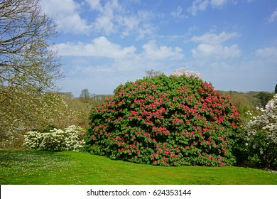 Beautiful Rhododendron bush in full flower near Bodmin, Cornwall, England, UK