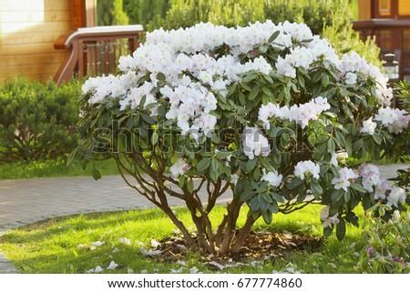 beautiful rhododendron bush in garden - Bush Garden
