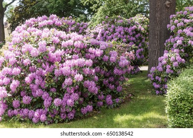 Beautiful Rhododendron flower bushes in a Garden Landscape