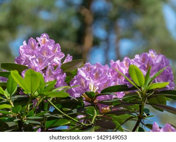 beautiful rhododendron flower in suburban pine forest