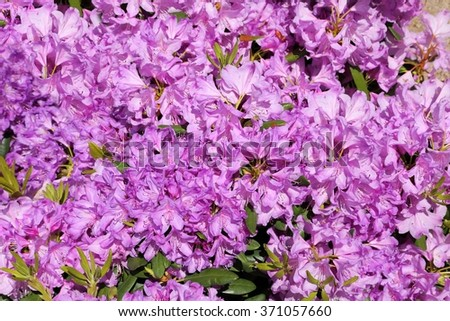 Beautiful rhododendron pink flower bushes garden stock photo edit beautiful rhododendron pink flower bushes in a garden mightylinksfo