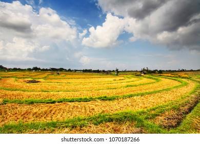 Beautiful rice field in Canggu Bali, Indonesia