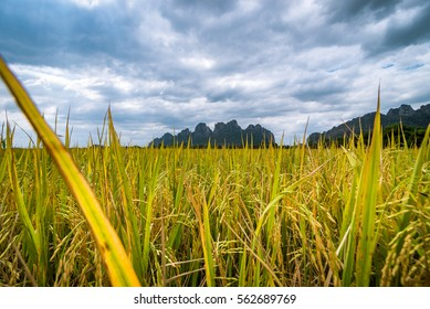 The beautiful rice field in front of mountain.