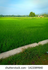beautiful rice field in the morning in central java indonesia for background image