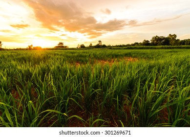 Beautiful rice fields and the sunset, northeast, Thailand