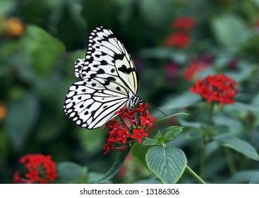 beautiful rice paper butterfly feeding on red lantana