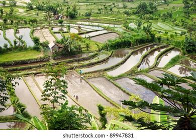 Beautiful rice terraces at Bali