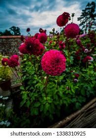 beautiful rich coloured dahlias growing in walled garden
